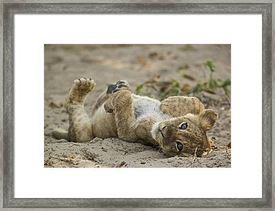 Lion Cub Framed Print by Johan Elzenga