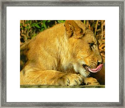 Lion Cub - What A Yummy Snack Framed Print