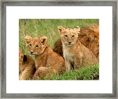 Lion Cubs - Too Cute Framed Print by Nancy D Hall