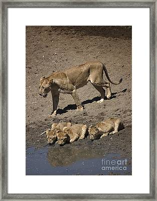 Lion Cubs And Mom Get A Drink Framed Print