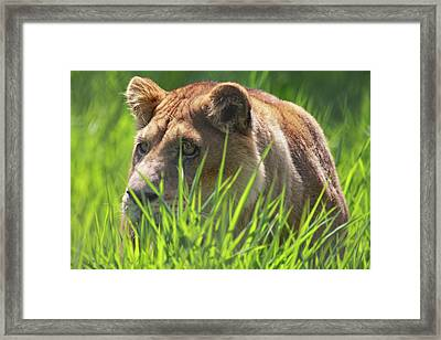 Lion Framed Print by Naman Imagery