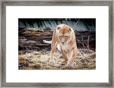 Lion Eyes Framed Print