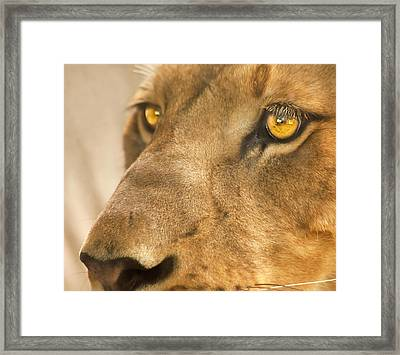 Lion Face Framed Print by Carolyn Marshall