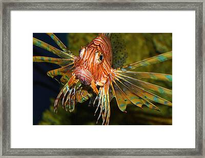 Lion Fish 2 Framed Print