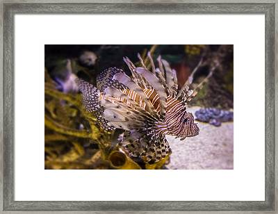 Lion Fish Framed Print by Martin Newman
