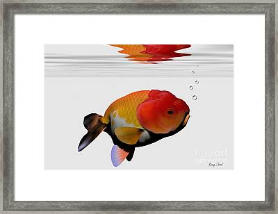 Lion-head Goldfish Framed Print by Corey Ford