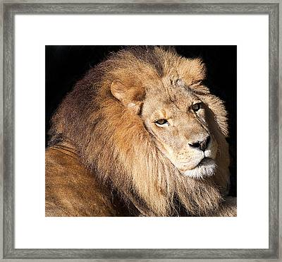 Lion Highlights Framed Print by Kenneth Albin