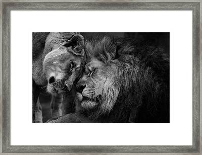 Lion In Love 2 Framed Print