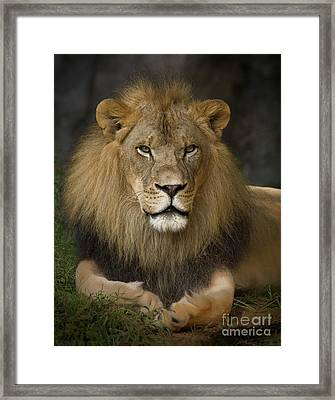 Lion In Repose Framed Print by Warren Sarle