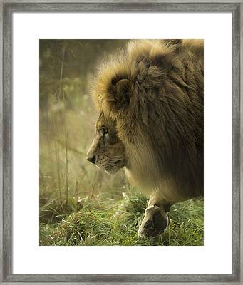 Lion In Soft Light Framed Print by Ron  McGinnis