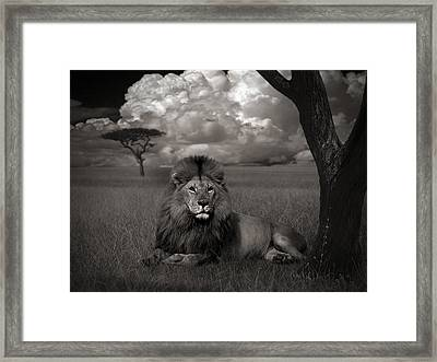 Lion In The Grass Framed Print