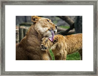 Lion Mother Licking Her Cub Framed Print
