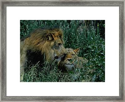 Lion Pair Framed Print