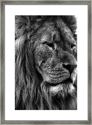 Lion Portrait Framed Print by Martin Newman