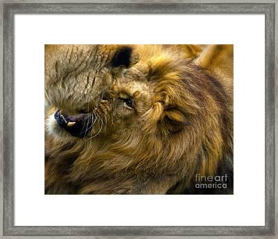 Lion Pride Framed Print by White Stork Gallety
