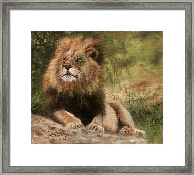 Lion Resting Framed Print by David Stribbling