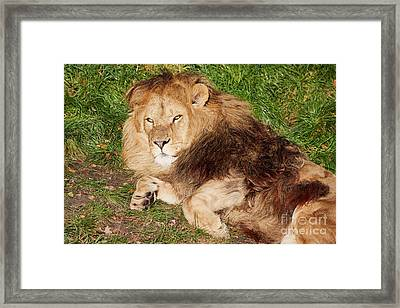 Framed Print featuring the photograph Lion Resting In The Sun by Nick Biemans