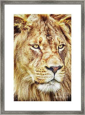 Lion-the King Of The Jungle Framed Print by David Millenheft