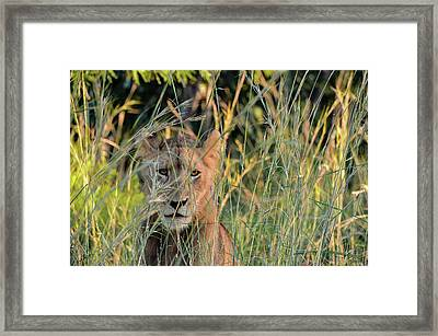 Lion Warily Watching Framed Print