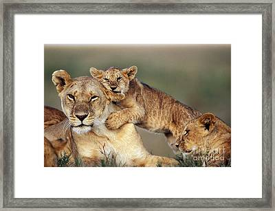 Lion With Cubs Framed Print by Michel & Christine Denis-Huot