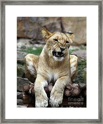 Lioness 2 Framed Print