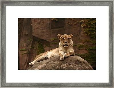 Lioness Framed Print by B Rossitto