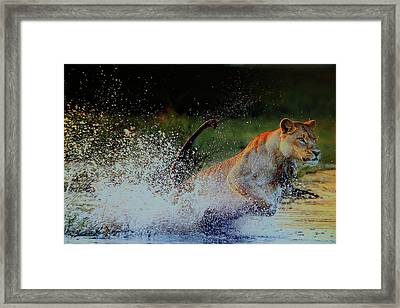 Lioness In Motion Framed Print