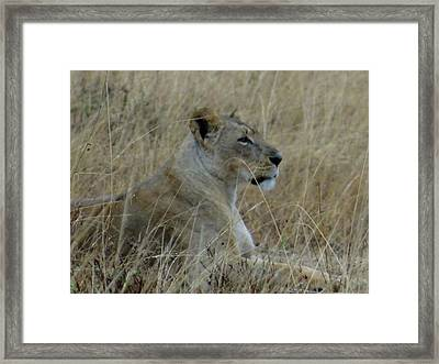 Lioness In The Grass Framed Print