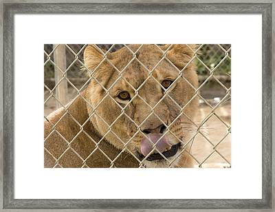 Lioness Licks Framed Print