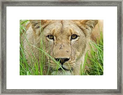 Framed Print featuring the photograph Lioness by Riana Van Staden