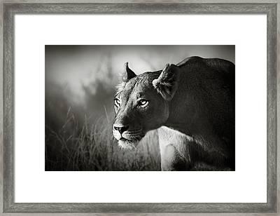 Lioness Stalking Framed Print