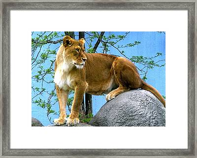 Lioness Framed Print by Tammy Bullard