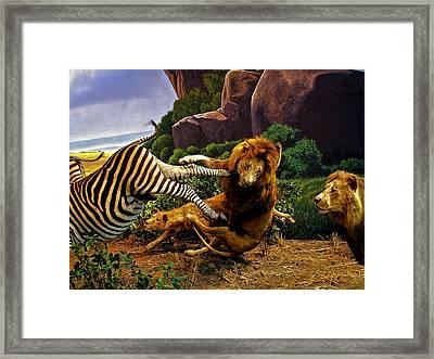 Lions Attack Zebra Framed Print