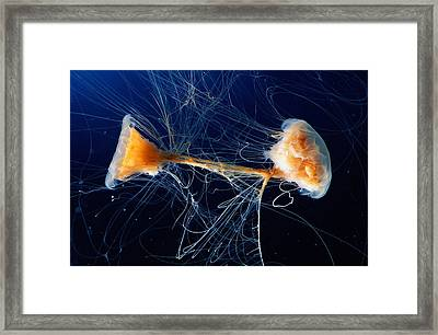Lions Mane Jellyfish Cyanea Capillata Framed Print by George Grall