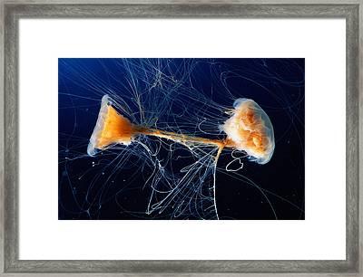 Lions Mane Jellyfish Cyanea Capillata Framed Print by George Grall