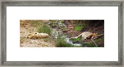Lions Sleeping In South Africa Framed Print