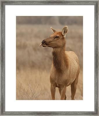 Lip Licking Tule Elk Merced County Ca Framed Print by Troy Montemayor