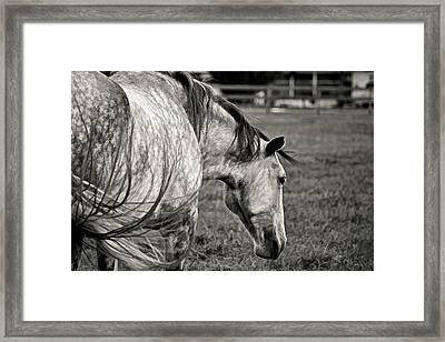 Lipizzan Stallion By H H Photography Of Florida Framed Print