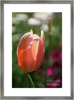 Lit Tulip 01 Framed Print
