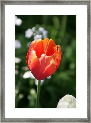Lit Tulip 02 Framed Print