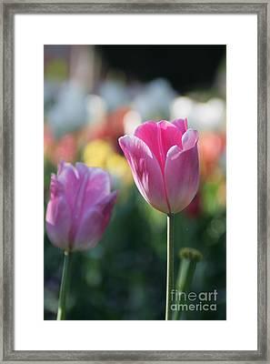Lit Tulip 05 Framed Print