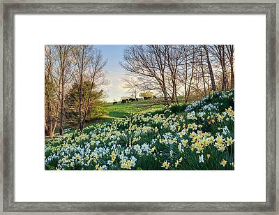 Litchfield Connecticut Daffodil Cows Framed Print by Bill Wakeley