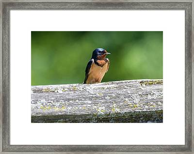 Framed Print featuring the photograph Little Barn Swallow by Ricky L Jones