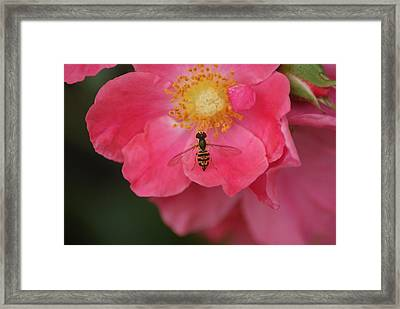 Little Bee Framed Print by Heather Green