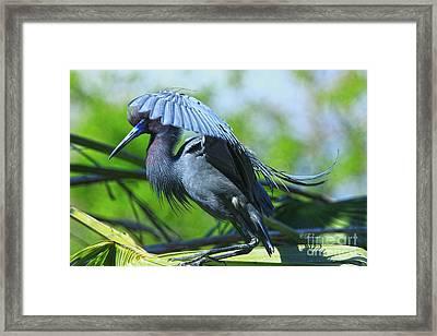 Framed Print featuring the photograph Little Blue Heron Alligator Farm by Deborah Benoit