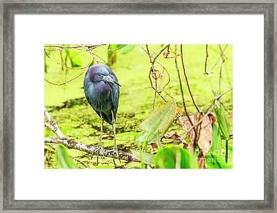 Little Blue Heron At Ollie's Pond Framed Print