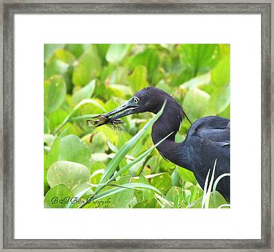 Framed Print featuring the photograph Little Blue Heron Catches A Frog by Barbara Bowen