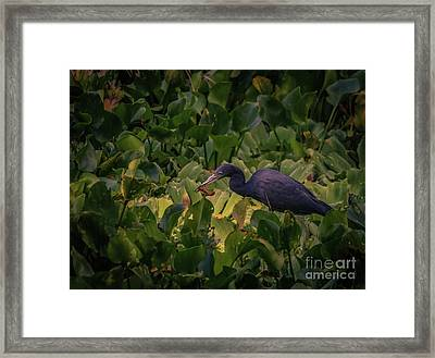 Little Blue Heron Having Lunch Framed Print by Claudia M Photography