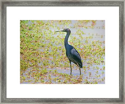 Little Blue Heron In Weeds Framed Print