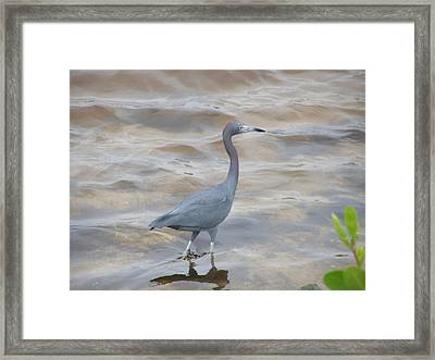 Little Blue Heron Framed Print by Jeanette Oberholtzer